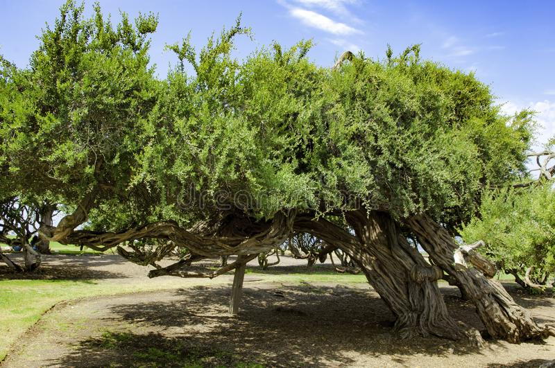 Tree bowed by the wind at the seaside San Diego, California, USA. Tree bowed by storm and underpinned by stock near Pacific Ocean, San Diego royalty free stock photos