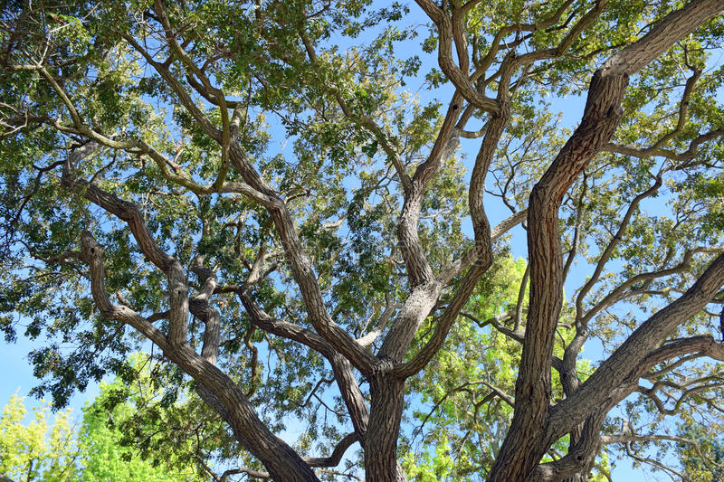 Tree braches and leaves soaking up sunlight in Laguna Woods, Caliornia royalty free stock photography