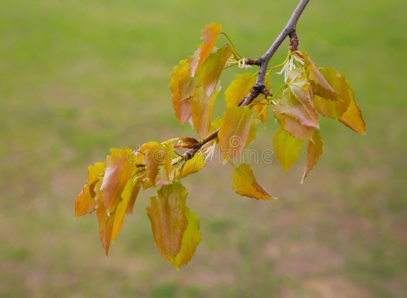 Tree branch alder. Closeup of green alder branches. spring, flora stock photo