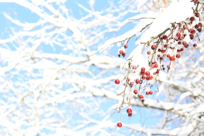 Tree branch with berries covered in snow against the blue sky. The trees do not always fall berries.In winter, they hang colorful red clusters on the branches royalty free stock photos