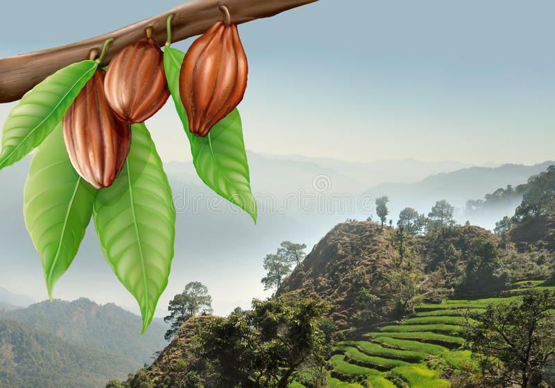 Tree branch with cacao fruits stock images