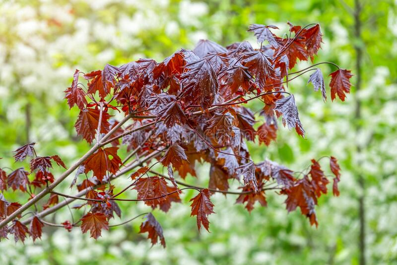 Tree branch with dark red leaves, Acer platanoides, the Norway maple Crimson King. Red Maple acutifoliate Crimson King, young plant with green background royalty free stock photo