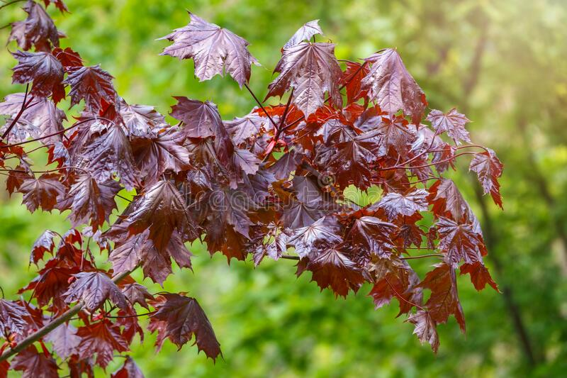 Tree branch with dark red leaves, Acer platanoides, the Norway maple Crimson King. Red Maple acutifoliate Crimson King, young plant with green background royalty free stock photos