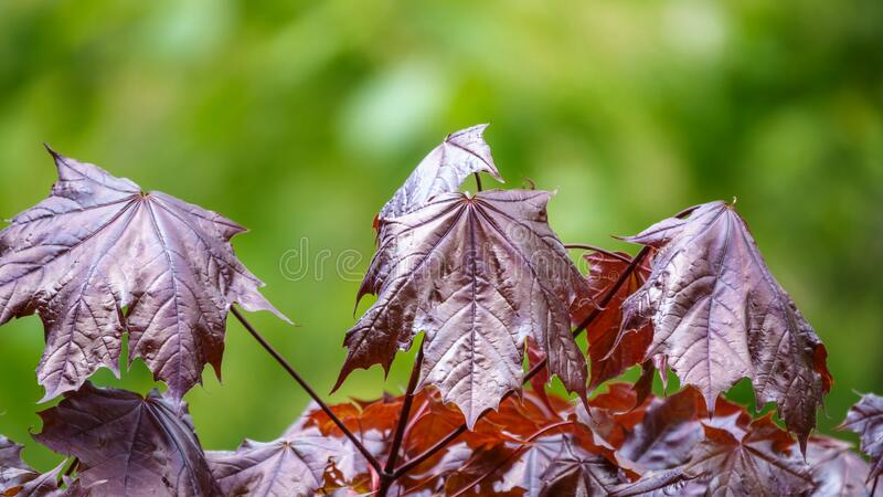 Tree branch with dark red leaves, Acer platanoides, the Norway maple Crimson King. Red Maple acutifoliate Crimson King, young plant with green background royalty free stock image