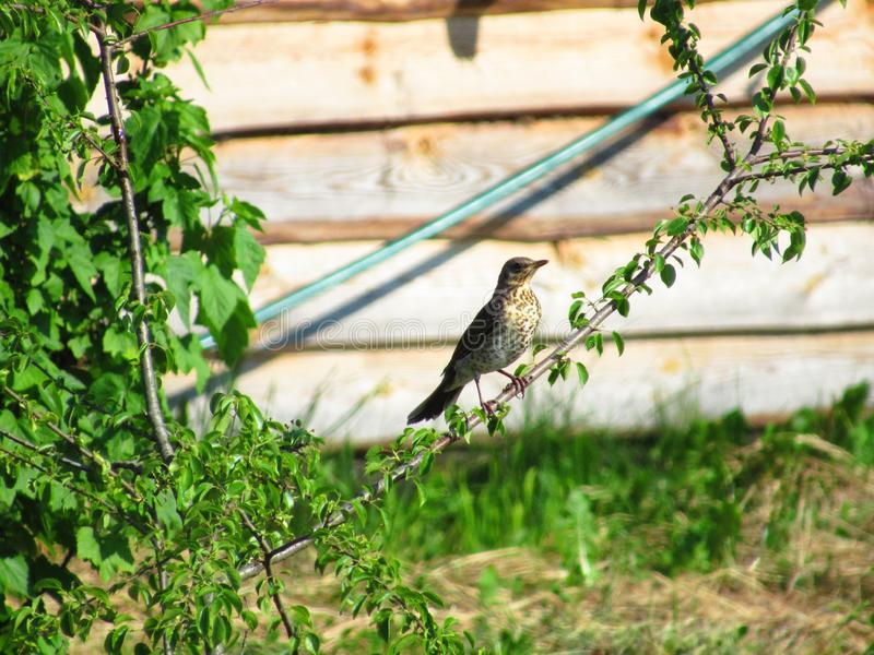 Small bird on brunches. On a tree branch that in front of the house of Viking sat an interesting bird whose kind I do not know stock images