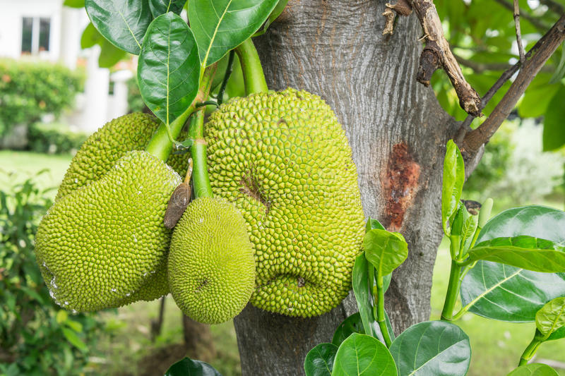 Download A Tree Branch Full Of Jack Fruits Stock Photo - Image of grow, fresh: 83708488