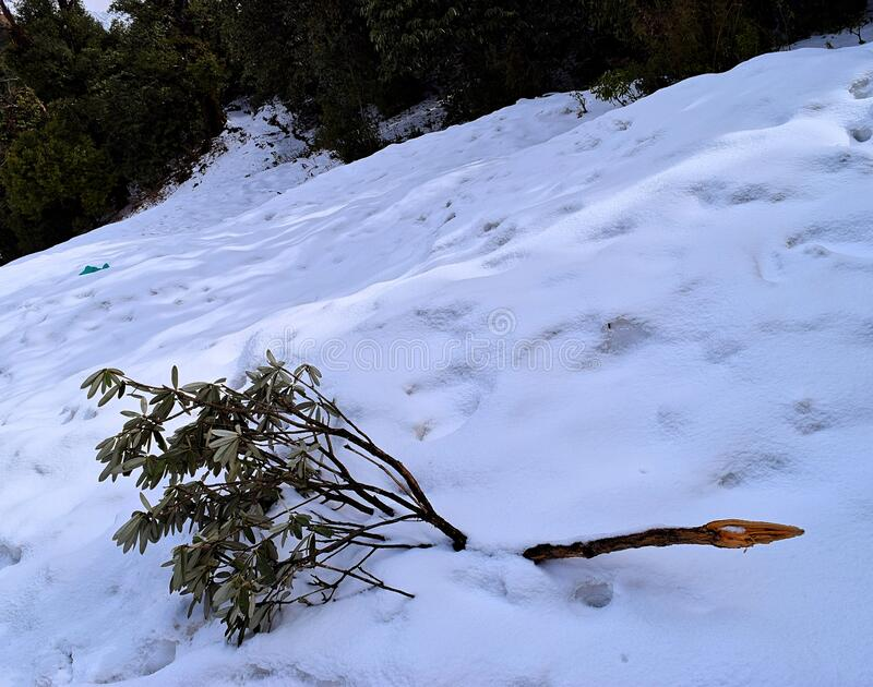 A Tree Branch with Green Leaves fallen on Land covered by Snow - Abstract Natural Landscape stock images