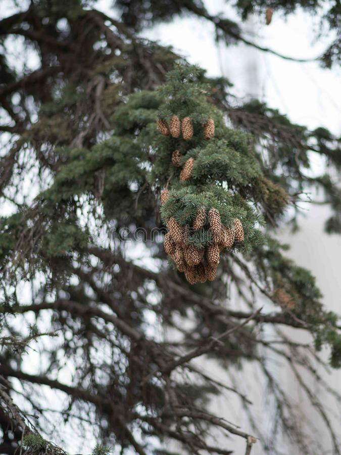 Tree branch with green needles and cones. Tree branch with needles and cones royalty free stock photos