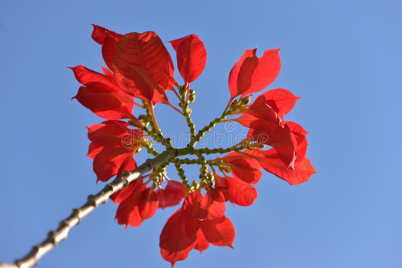 Tree branch with red flower on blue sky.  royalty free stock image