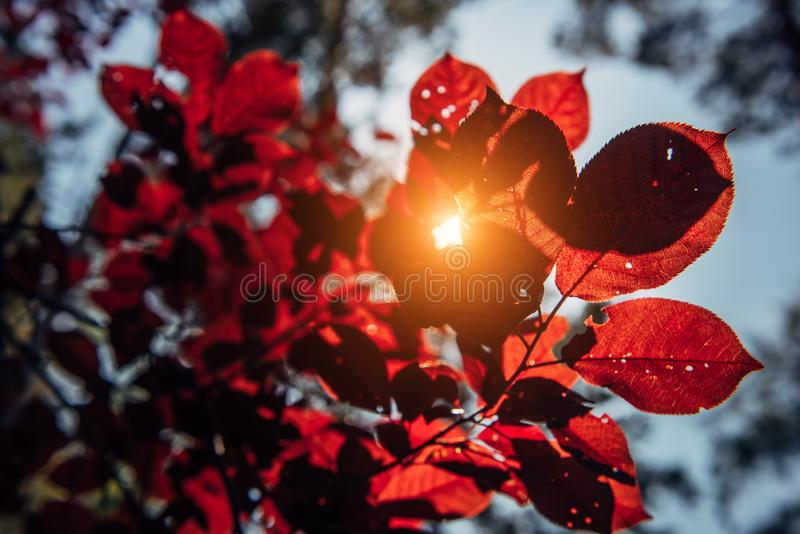 Tree branch with red leaves, close-up, selective focus. Autumn foliage in bright sunlight. Natural backgrounds, space for text stock images
