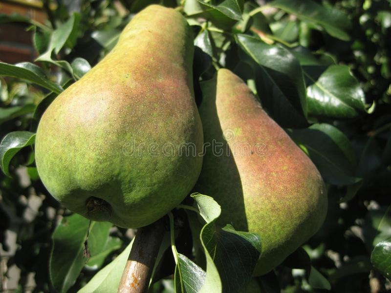 On a tree branch, two large pears ripen. royalty free stock image