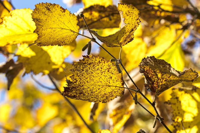 Tree branch with yellow beech leaves on blue sky background stock images