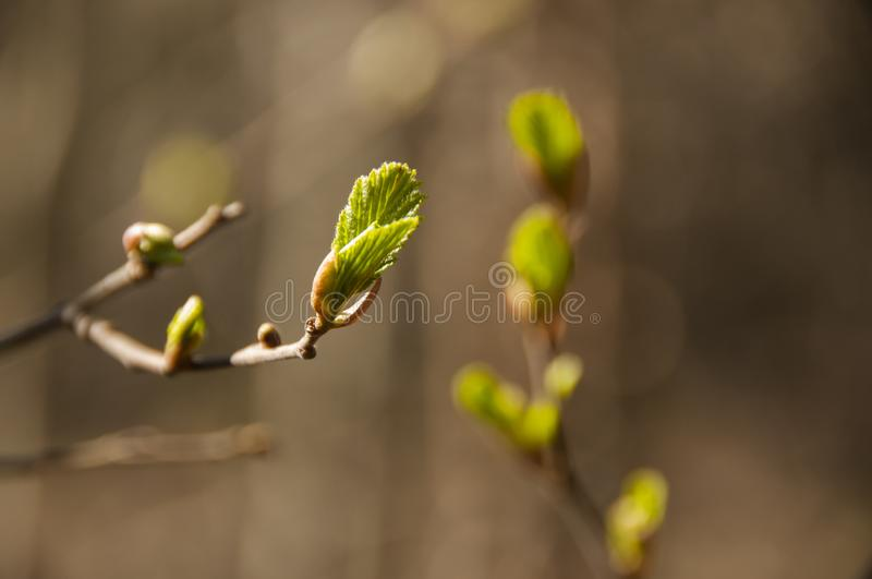 Tree branch with young green leaves. Spring is coming. New life royalty free stock photo