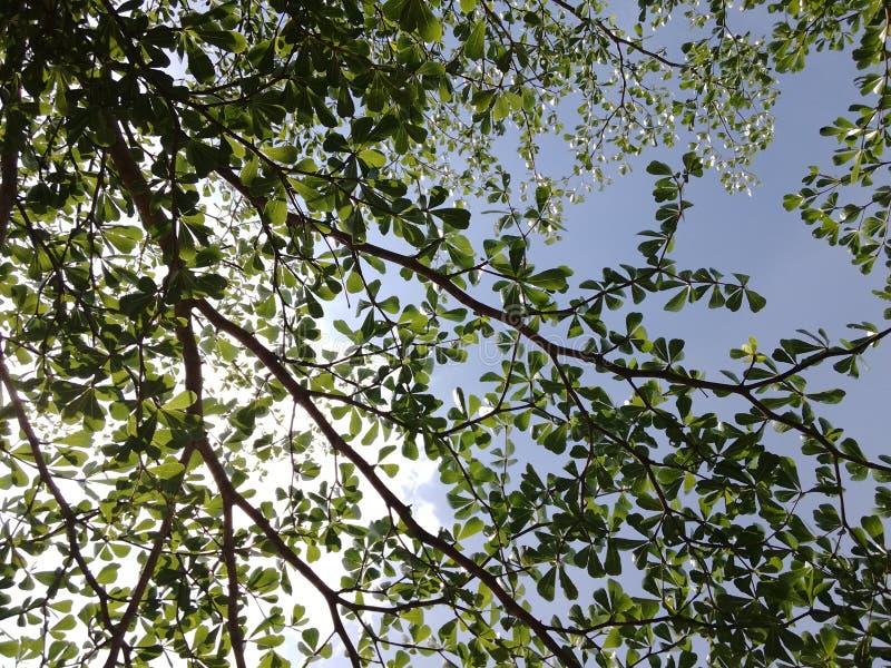 Tree& x27 ; branche de s capturée de l'angle faible avec les cieux bleus comme fond photos stock