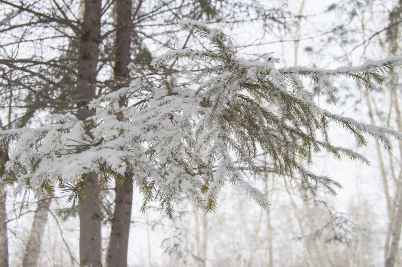 Tree branches covered with snow and ice crystals, frost texture close-up stock images