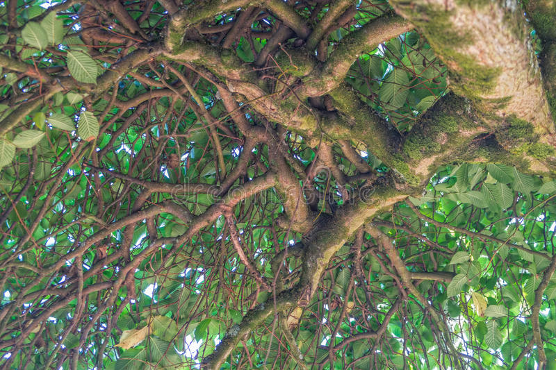 Tree branches with foliage seen from below royalty free stock photo