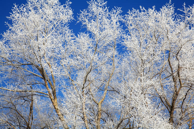 Tree Branches Frozen In December Royalty Free Stock Image