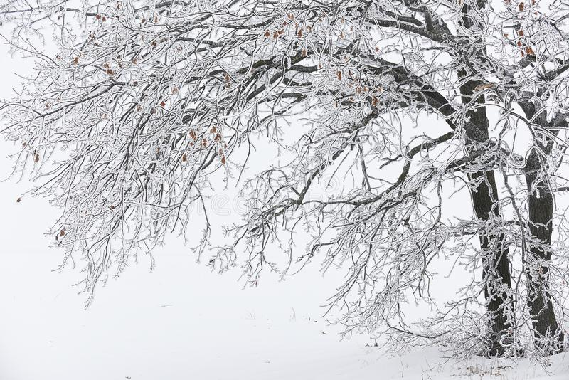 Tree branches in a glass of icy frost bowed to the ground. Beautiful natural look of winter. stock image