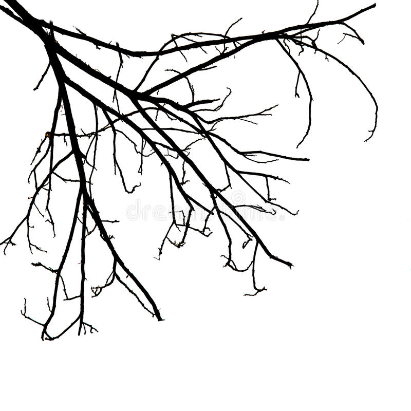 Tree Branches Isolated On White Background Stock Photo - Image of ...
