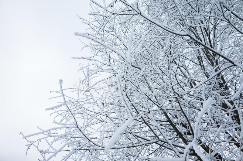 Tree branches with show and frost. Winter natural, background photo stock image