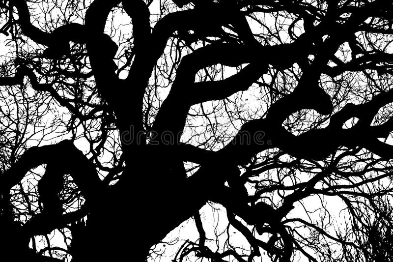 Tree branches silhouette. A gloomy bare oak tree