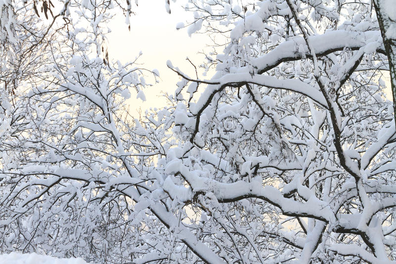 Tree branches and with snow. Tree branches and caked with snow,winter, frost, cold stock images