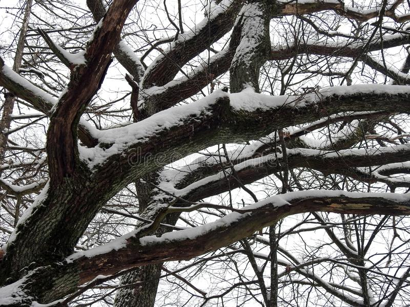 Tree branches with winter snow , Lithuania stock photo