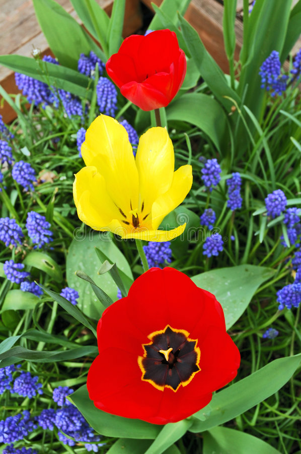 Tree bright tulips, red and yellow, between blue small flowers i stock photography