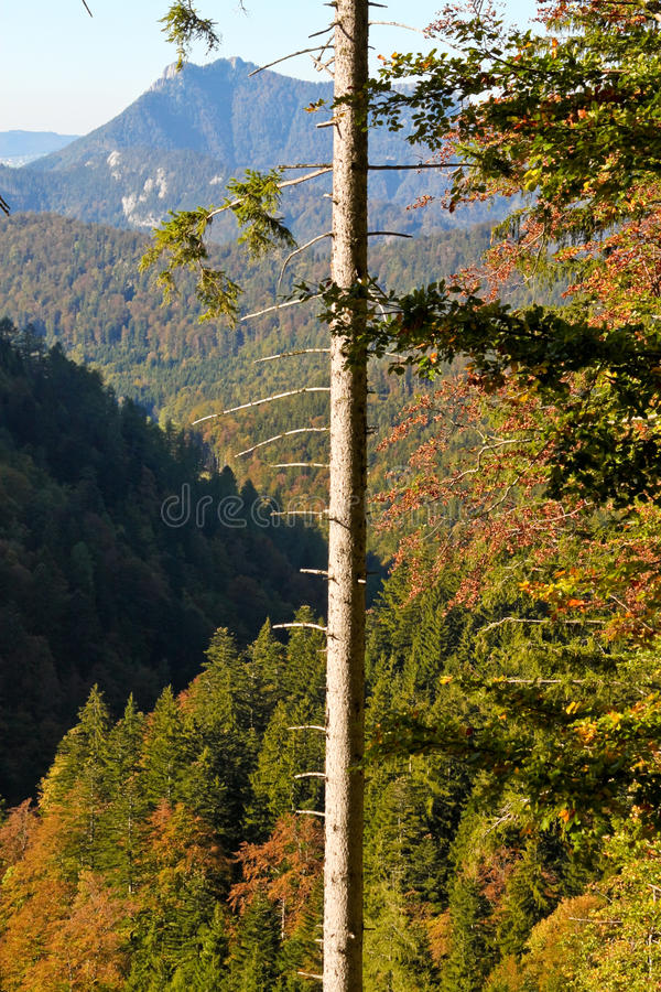Tree With Broken Branches And View Of Alps Royalty Free Stock Images