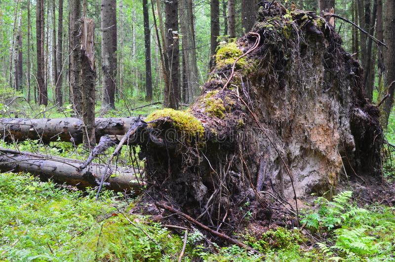 The tree broken by a lightning in the dense forest stock photos