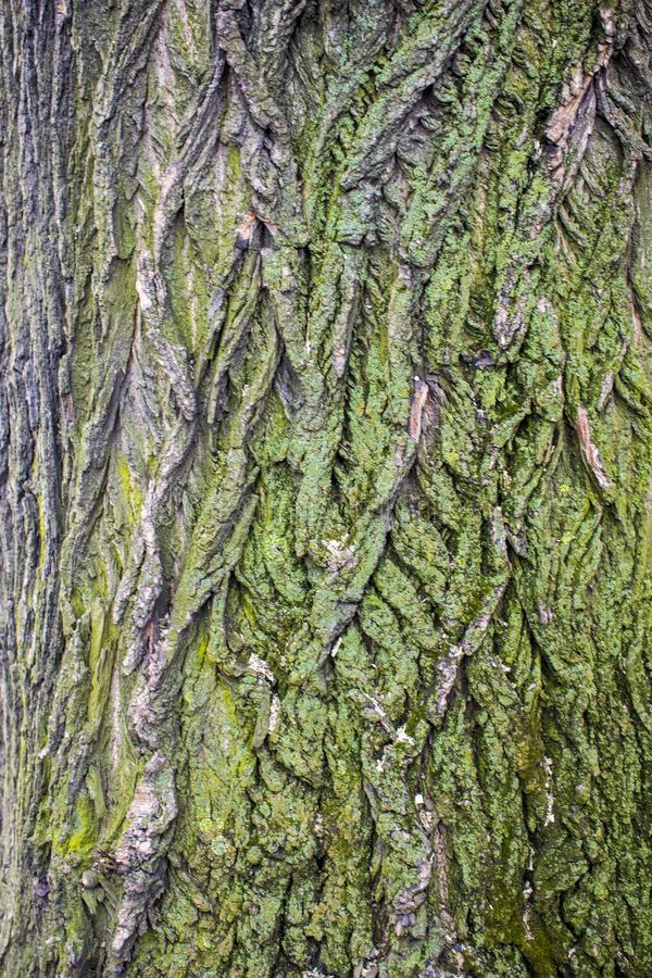Tree brown bark texture with green moss. Mosses on the tree bark stock photos
