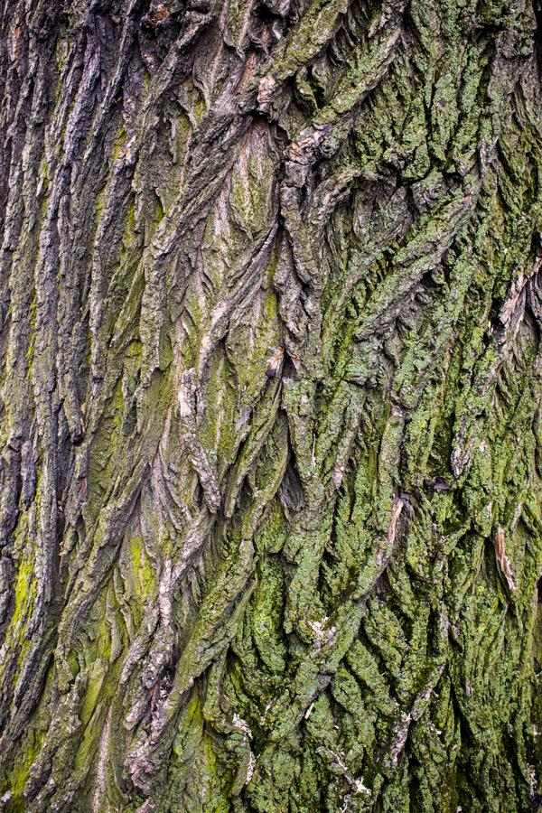 Tree brown bark texture with green moss. Mosses on the tree bark royalty free stock photos
