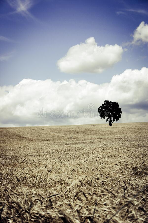 Tree in Brown Wheat Field stock photography