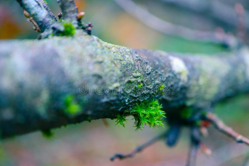 Tree brunch with lichen macro, floral background. Mossy tree in royalty free stock images