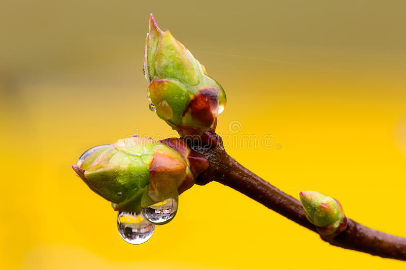 Tree buds In Spring Rain royalty free stock images