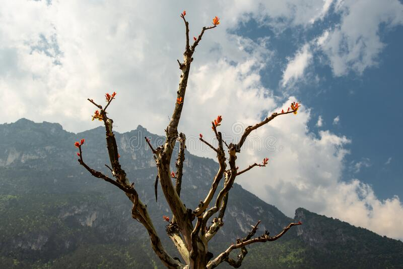 Tree with buds in springtime royalty free stock photo
