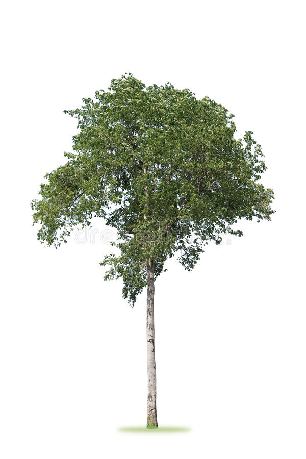 A tree bush has rounded on white background stock images
