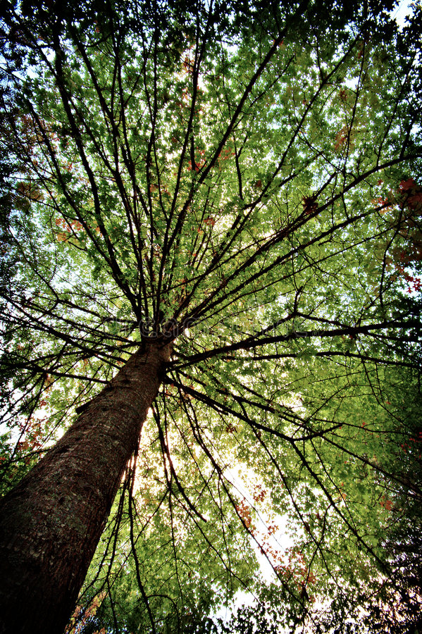 Download Tree canopy stock image. Image of wood, angle, skies, upwards - 2346477