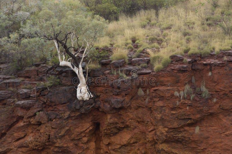 Tree on canyon rim royalty free stock image