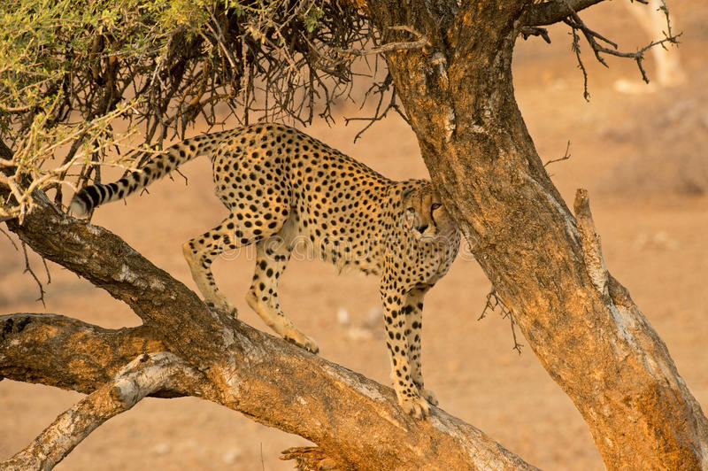 Tree Cheetah stock images