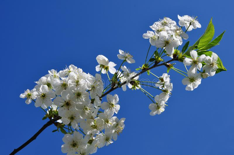 A branch of cherry blossoms in spring florets stock photography
