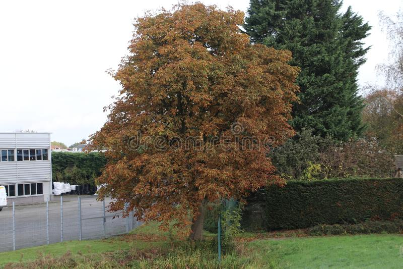 tree of the Chessnut with brown leaves during autumn in the Netherlands. stock photo