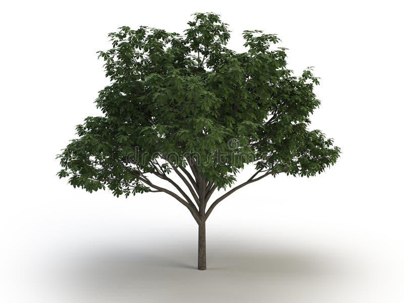 Tree chestnut stock photo