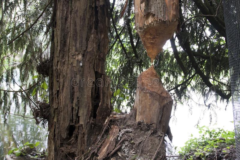 Tree chewed by beavers. Busy beavers hard work chewing a tree fails to drop tree royalty free stock photo