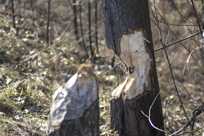 Tree chewed by beavers. Trunk and a tree chewed by beavers in wild forest close to river stock photography