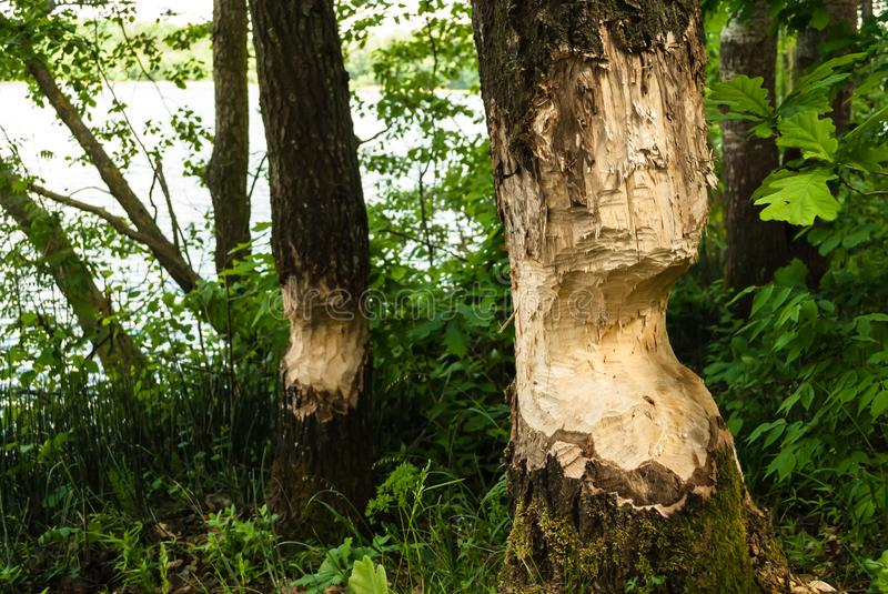 A tree chewed down by beavers. Destroyed tree, beavers work stock images