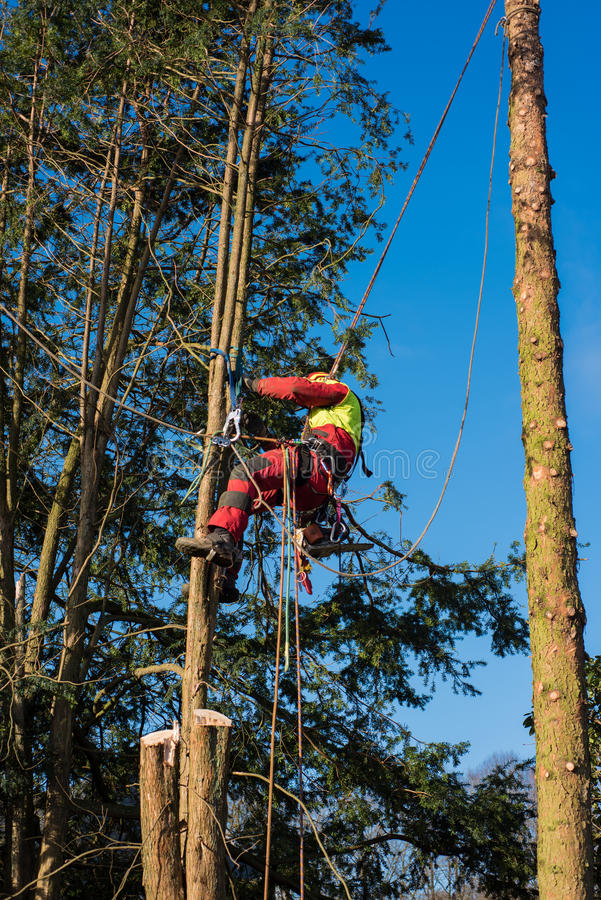 Tree climber in the sunlight cutting down a tree royalty free stock images
