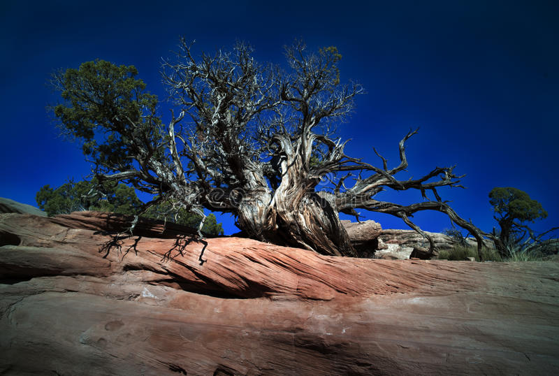 Tree Clinging To rocky ledge royalty free stock photo
