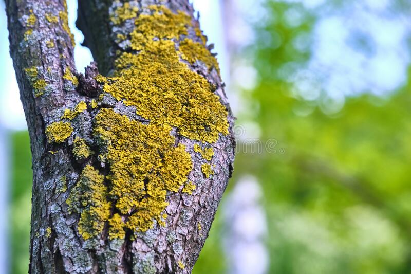 Tree is covered with moss which damages the tree and kills it by allowing it to develop fungal diseases and infections. color. Tree is covered with moss which stock photography