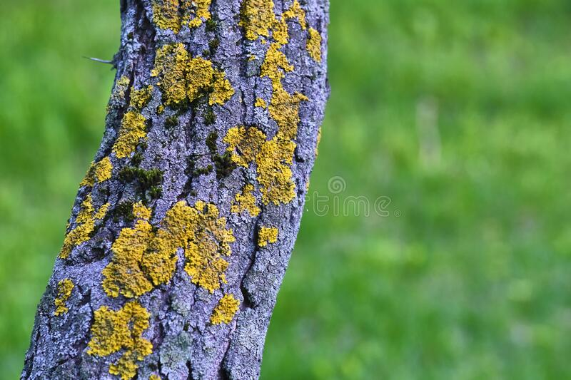 Tree is covered with moss which damages the tree and kills it by allowing it to develop fungal diseases and infections. color. Tree is covered with moss which royalty free stock photo